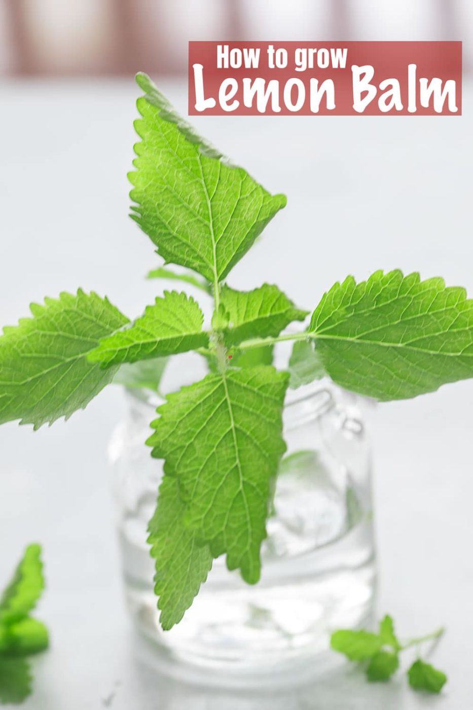 closeup view of lemon balm in a glass bottle with water