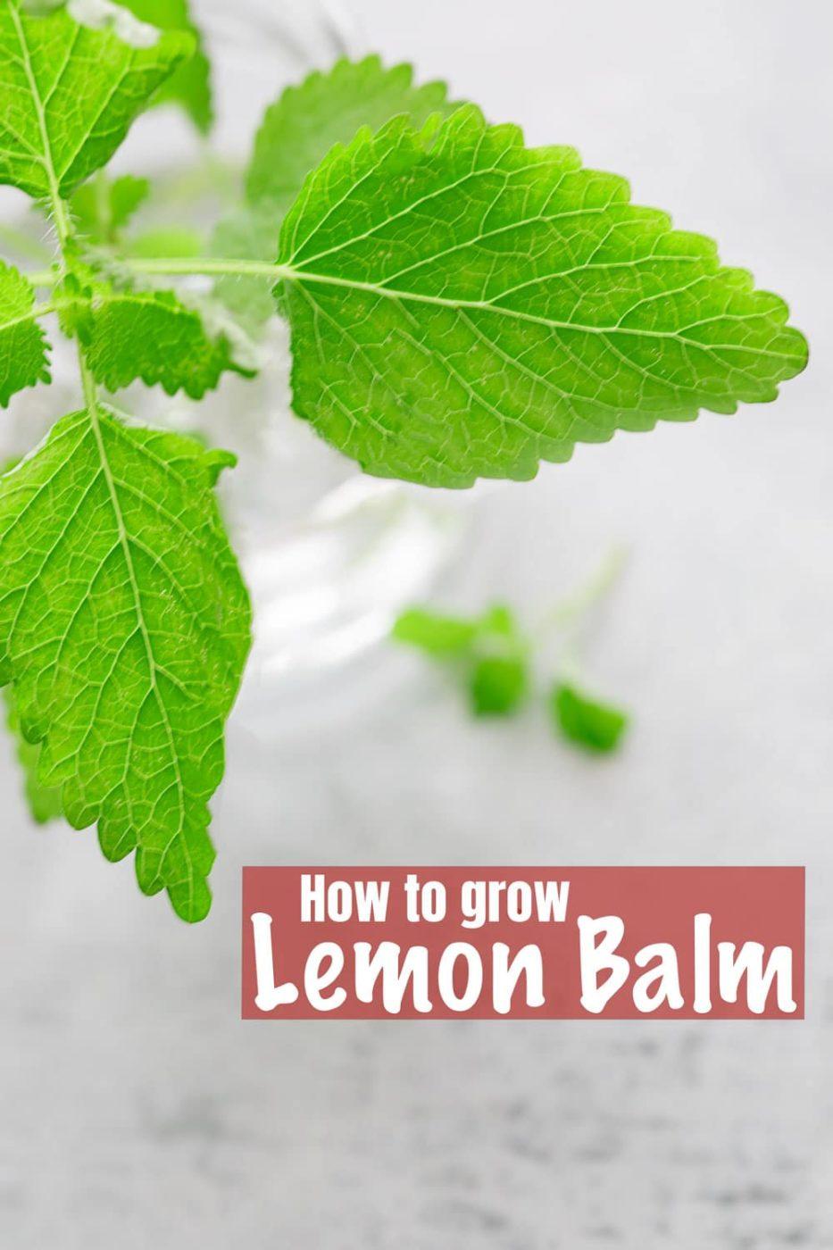 macro photo of a lemon balm leaf