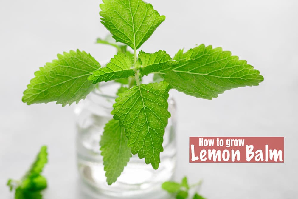A branch of lemon balm placed in a glass bottle with water in it.