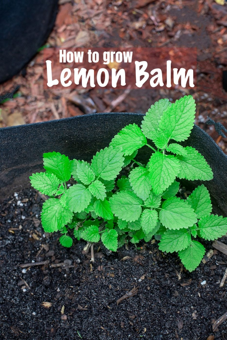 lemon balm plant in growing in a grow bag
